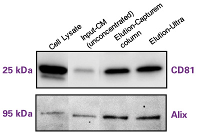 Improve isolated exosome purity and yield from cell culture