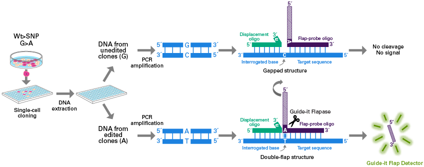 SNP screening workflow