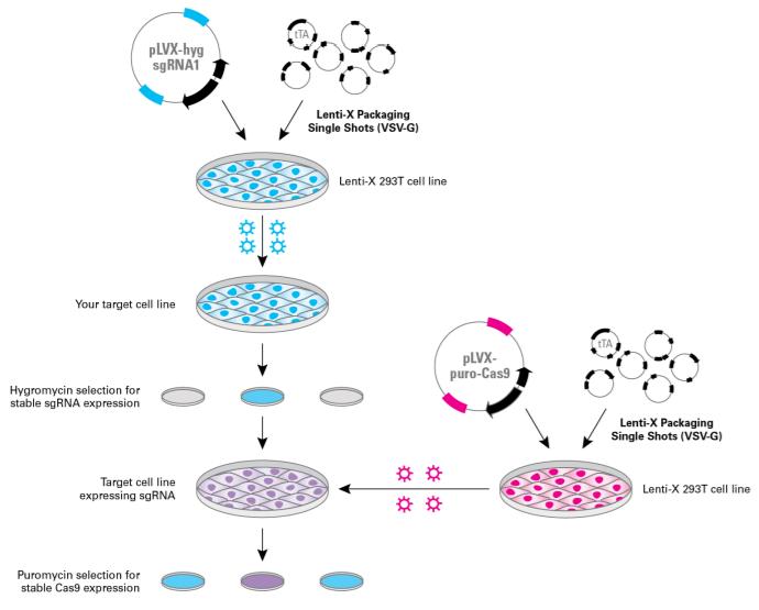 Lenti-X CRISPR/Cas9 system