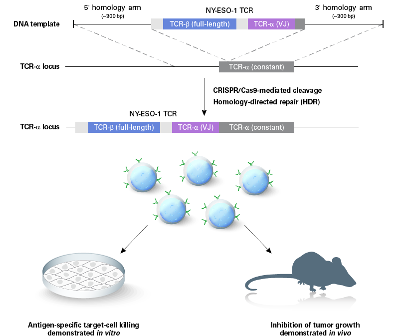 Efficient nonviral T-cell engineering: CRISPR takes a giant