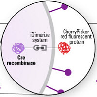 Delivery of Cre recombinase protein using cell-derived nanovesicles