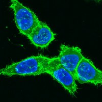 Label subcellular organelles using fluorescent proteins