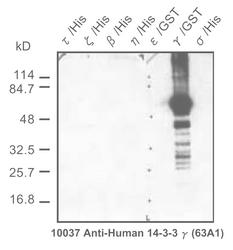 Western blot detected with Anti-Human 14-3-3-Gamma Protein (63A1) Mouse IgG MoAb