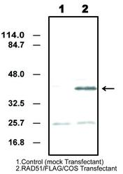Western blot detected with Anti-Human Rad51 (1B1) Mouse IgG MoAb