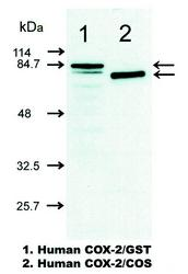 Western blot detected with Anti-Human COX-2 (13H14) Mouse IgG MoAb