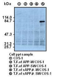 Western blot of COS-1 cells transfected with APP variants, detected with Anti-Human sAPP-beta-sw (6A1) Mouse IgG MoAb