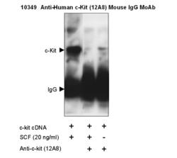 Western blot detection of immunoprecipitation experiment with Anti-Human c-Kit (12A8) Mouse IgG MoAb (Cat.# 10349)