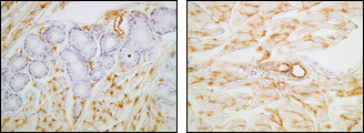 Cross-section of mouse tongue tissue, superficial layer (A) and deep layer (B), after IHC staining with Anti-Mouse BEC12 (LA5) Rat IgG MoAb