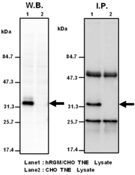 Western blot and immunoprecipitation analysis using Anti-Human RGMa (410-10) Mouse IgG MoAb