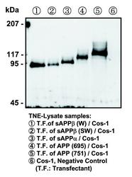 Western blot of COS-1 cells transfected with APP variants, detected with Anti-Human APP (N) (10D1) Mouse IgG MoAb