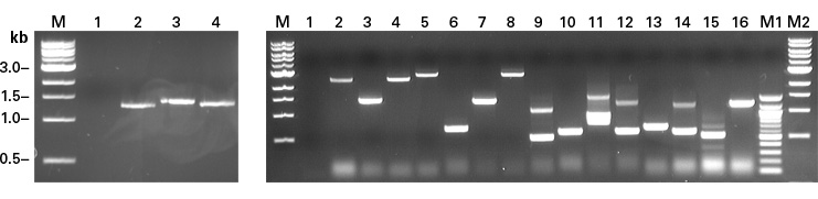 Use colony PCR to quickly analyze your bait-specific reporter strains and sort your positive candidate clones