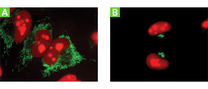 AcGFP1 is ideal for multicolor and fluorescence microscopy applications