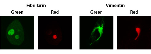 Green-to-red photoconversion of Dendra2-tagged proteins