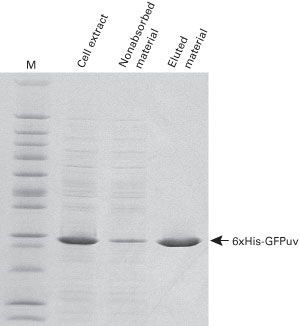 SDS-PAGE of TALON CellThru Resin purified proteins