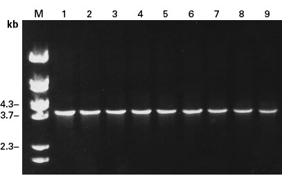 The Diversify PCR Random Mutagenesis Kit amplifies fragments as large as 4.0 kb