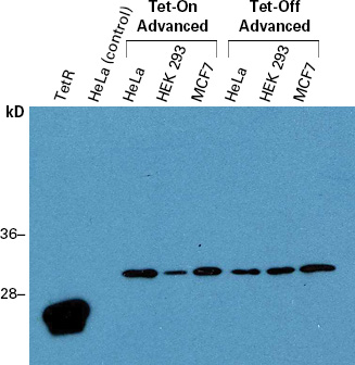 Western blot detection of the Tet-On Advanced and Tet-Off Advanced transactivators