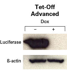 Inducible expression using the HEK 293 Tet-Off Advanced Cell Line