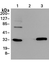 The EGFP Monoclonal Antibody, for the detection of enhanced GFP