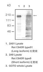 Western blot of cell lysates detected with Anti-Human c-Ret (Long Isoform) Rabbit IgG Antibody
