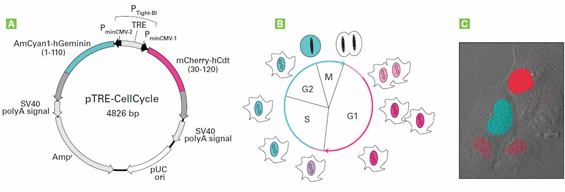 Tightly controlled, simultaneous expression of two Fucci probes allows complete visual tracking of the cell cycle