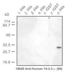 Western blot detected with Anti-Human 14-3-3-sigma Protein (69) Rabbit IgG Antibody
