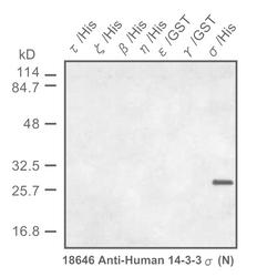 Western blot detected with Anti-Human 14-3-3-sigma (N) Protein Rabbit IgG Antibody