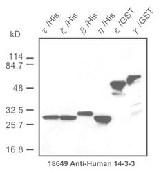 Western blot detected with Anti-Human 14-3-3 Protein Rabbit IgG Antibody
