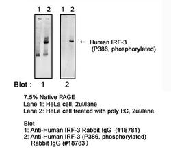 Western blot of unphosphorylated and phosphorylated human IRF-3 detected with Anti-Human IRF-3 (S386 Phosphorylated) Rabbit IgG Antibody