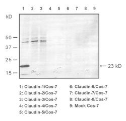Western blot of COS7-cells transfected with claudins 1-8, detected with Anti-Mouse/Rat Claudin-1 (C) Rabbit IgG Antibody