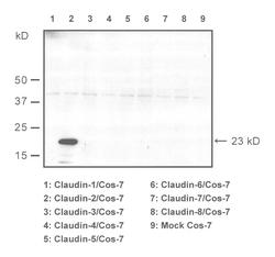 Western blot of COS7-cells transfected with claudins 1-8, detected with Anti-Mouse Claudin-2 (C) Rabbit IgG Antibody