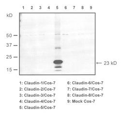Western blot of COS7-cells transfected with claudins 1-8, detected with Anti-Mouse Claudin-5 (C) Rabbit IgG Antibody