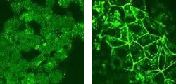 Immunofluorescence of F9 cells before induction (A) and after induction with HNF4-alpha (B), detected with Anti-Human Claudin-6 Rabbit IgG Antibody