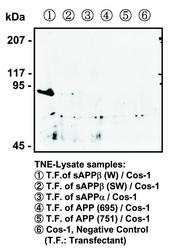 Western blot of COS-1 cells transfected with APP variants, detected with Anti-Human sAPP-beta Wild Type Rabbit IgG Antibody