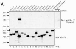 Western blot detected with Anti-Synaptotagmin IV Rabbit IgG Antibody
