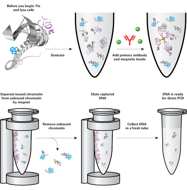 ChIP assay for epigenetic interactions