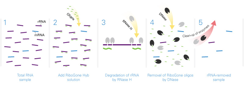 RiboGone - Mammalian is specifically designed to work with low input RNA samples containing between 10–100 ng of full-length or degraded total RNA