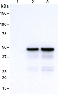 Western blot detection of a DmrB-tagged protein using the DmrB Monoclonal Antibody (Cat.No. 635090)