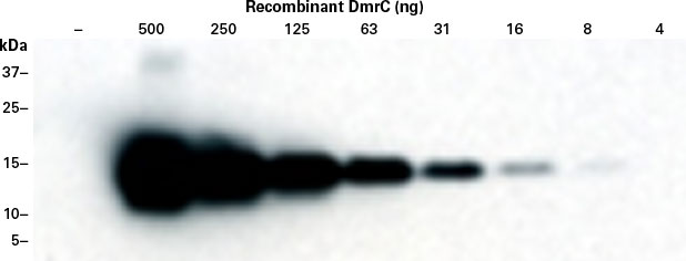 The DmrC Polyclonal Antibody (Cat. No. 635091) can detect as little as 16 ng of DmrC protein