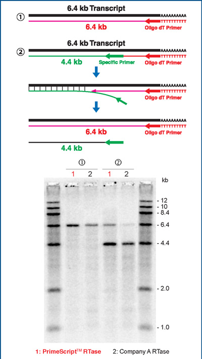 Strand displacement and elongation activity of PrimeScript Reverse Transcriptase in comparison to Company A RTase