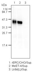 Western blot detected with Anti-Rat C-ERC/Mesothelin (306) Rabbit IgG Antibody