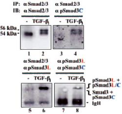 Immunoprecipitation analysis using Anti-Smad3 Rabbit IgG Antibodies