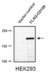 Western blot of recombinant CD109 detected with Anti-Human CD109 (1383) Rabbit IgG Antibody