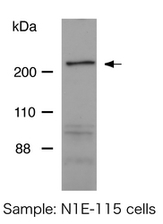 Western blot detected with Anti-Dock6 Rabbit IgG Antibody