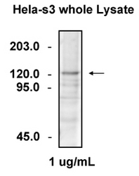 Western blot of HeLa whole-cell lysate detected with Anti-Human Tti1/KIAA0406 Rabbit IgG Antibody