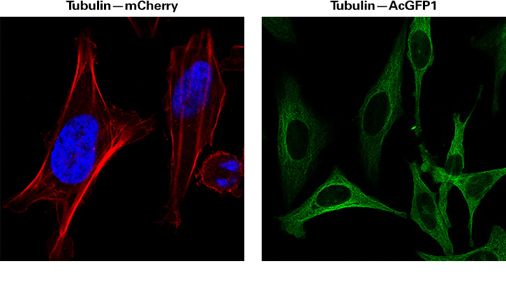 Fluorescent labelling of tubulin in mammalian cells