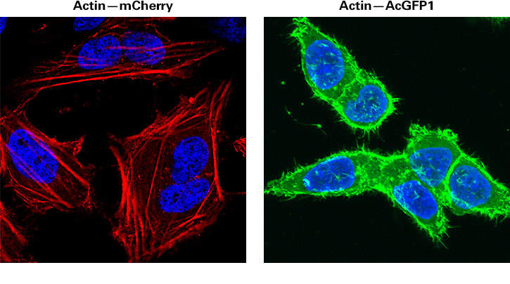 Subcellular staining of actin using recombinant lentivirus to deliver and express fusions of actin to mCherry (Cat. # 0020VCT rLV.EF1.mCherry-Actin-9) and AcGFP1 (Cat. # 0013VCT rLV.EF1.AcGFP1-Actin-9), respectively