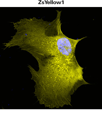 Mammalian cells transduced with lentivirus (Cat. # 0012VCT rLV.EF1.ZsYellow1-9) expressing ZsYellow1 fluorescent protein