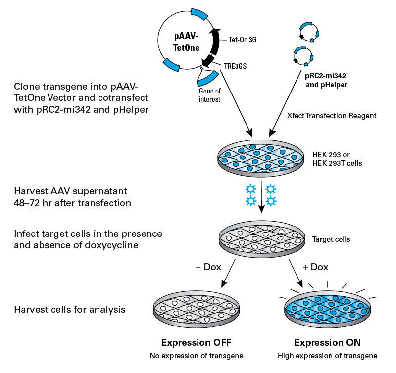 Establishing an inducible expression system in target cells with AAVpro Tet-One