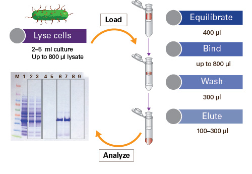 Protein purification miniprep workflow