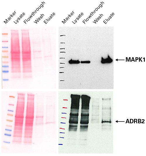 Purification of 6xhis-tagged proteins expressed in mammalian cells